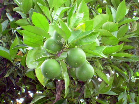 A branch of a lemon tree, supporting a group of newborn lemons in the summer heat