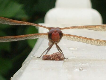 Red dragonfly sitting on top of a wooden deck railing Stock Photo