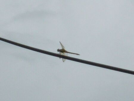 A dragonfly sitting on a telephone wire