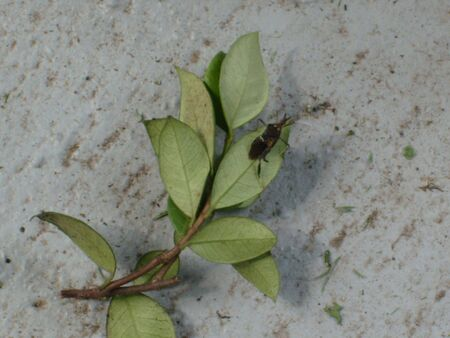 A stink bug resting on broken branch from a jasmine bush on a dark gray, dirty concrete ground