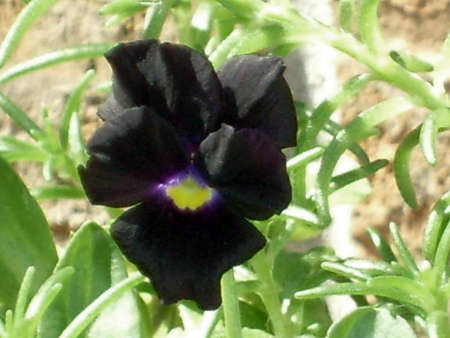 A black pansy with a smidge of purple in the center of it Stock Photo - 1405080