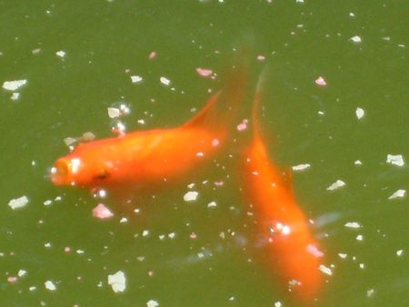A pair of small goldfish (comets) being fed in a pond