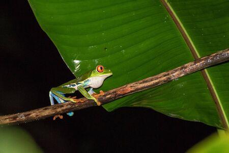 Walking red eyed frog