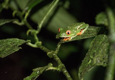 Red eyed frog in Costa Rica Stock Photo