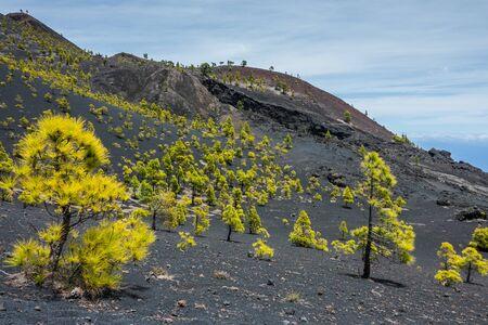 Pine trees in La Palma volcanos Stock Photo