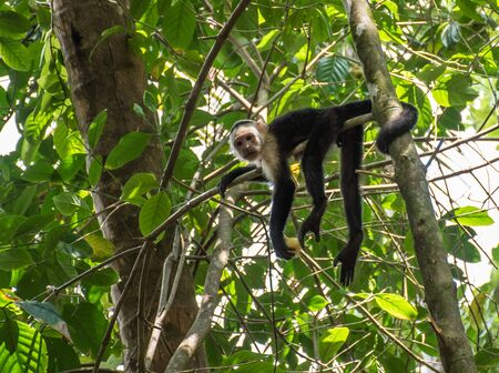 White-headed monkey with a fruit