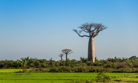 africa baobab tree: Group of young baobabs at dusk, Madagascar