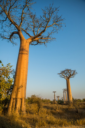Group of young baobabs at dusk, Madagascar