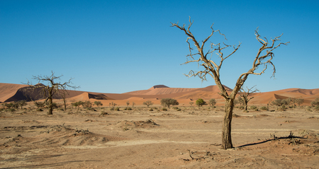 desiccated: Drought trees near dune 45 in Namibia