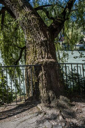 Nature engulfs civilization, an old tree eats a railing