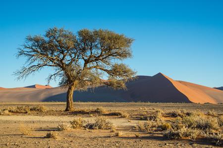 Tree and bush near dune 45 in Namibia