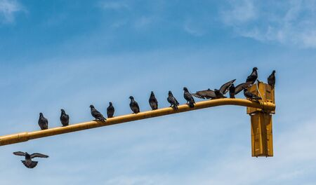 Pigeons resting on a traffic light in Buenos Aires, Argentina