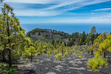 palma: Pine trees in La Palma volcanos trail, Canary Islands Stock Photo