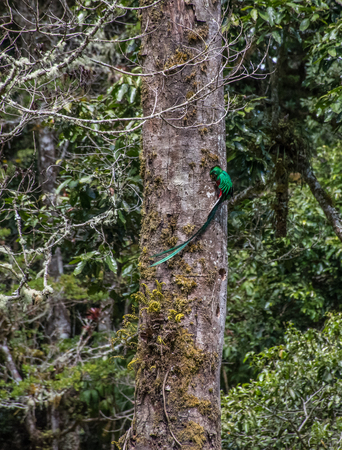 Male Resplendent quetzal feeding the breed in the forest, Costa Rica Stock Photo