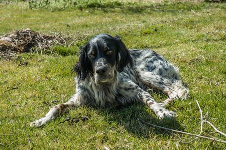 Old English Setter dog lying down the grass