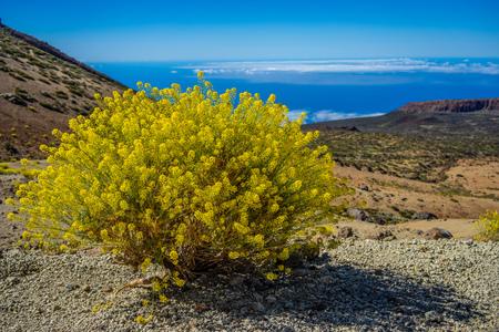 Hierba pajonera Descurainia bourgaeana typical bush  from Teide volcanic site, Canary Islands