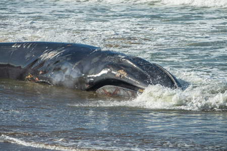 Wounded dying humpback whale grounding in the coast in Sopelana, Basque Country