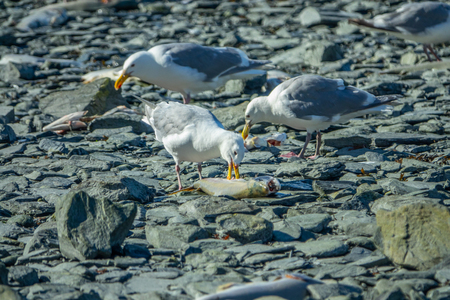 Seagulls eating salmon fishes swimming up the river, Alaska Stock Photo