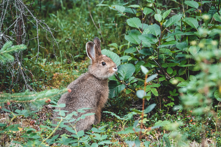 Snowshoe hare on the grass in summer, Alaska