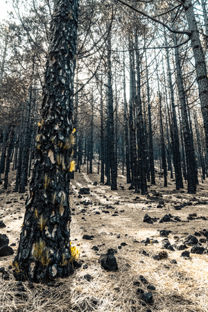 Pine trees after a fire in the forest in La Palma, Canary Islands