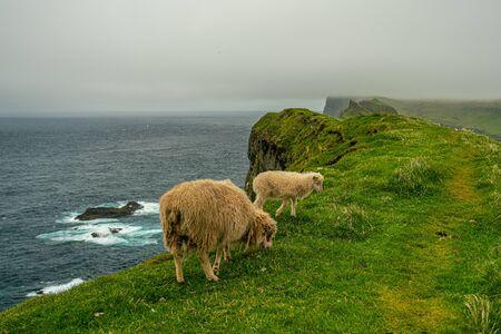 Sheeps pasturing grass in Mykines, Faroe Islands