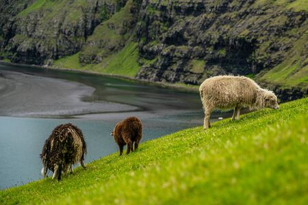 Sheeps pasturing grass in Saksun, Faroe Islands
