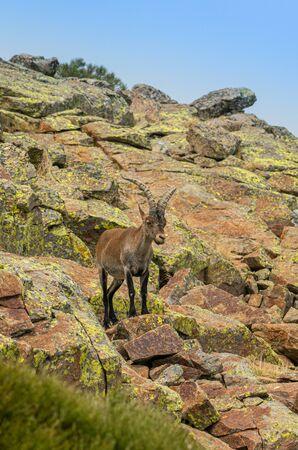 Male mountain goat in Sierra de Gredos mountain range, Avila, Spain