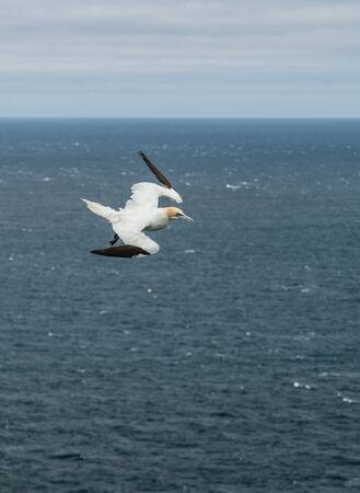 Northern gannet flying over the air currents in Mykines, Faroe Islands Banque d'images - 131771430