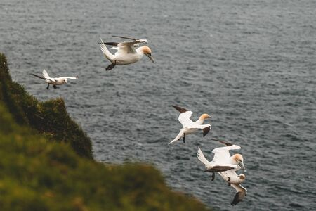 Northern gannet flying over the air currents in Mykines, Faroe Islands