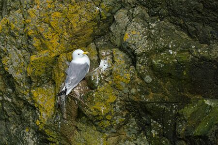 Close-up view of seagull nesting on a cliff, Faroe Islands