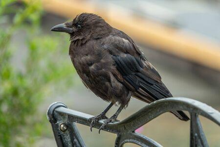 Dark raven perched on a bench, Alaska 版權商用圖片