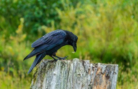 Dark raven perched on a trunk, Alaska