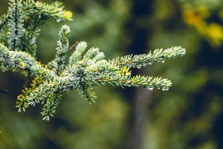 Close up of rain drops on green pine needles, Alaska Standard-Bild - 134765698