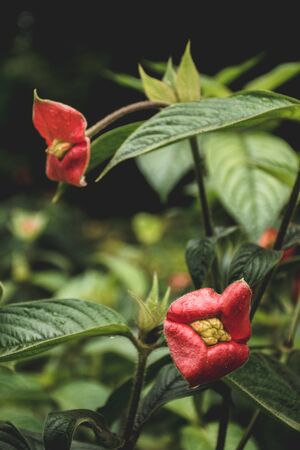 Hot lips plant, Psychotria elata, in bloom at La Fortuna, Costa Rica Standard-Bild