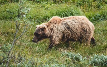 Grizzly bear in Denali National park, Alaska Standard-Bild