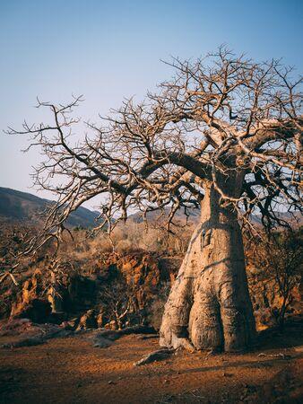 Bellissimo albero Baobab vicino alle cascate Epupa nel nord della Namibia, Africa Archivio Fotografico