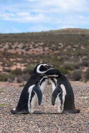 Magellanicus penguin near beagle channel, Argentina, South America Standard-Bild