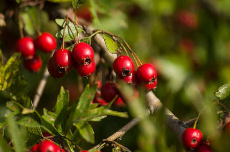 Sprig of red hawthorn berries Stock Photo