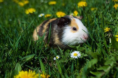 cavie: Funny guinea pig went for a walk Archivio Fotografico