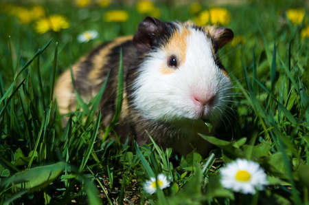 Funny guinea pig went for a walk Stock Photo