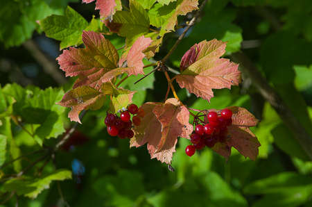 Bunch of red viburnum outdoors in autumn