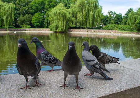 Pigeons live near the lake in the park, people feed them bread crumbs