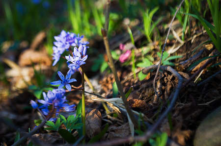 Small spring flowers snowdrops grow outdoors in nature Stock Photo
