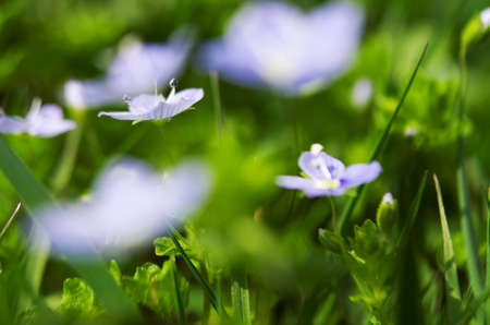 Veronica spring flowers blooming outside in the nature of a good day Stock Photo