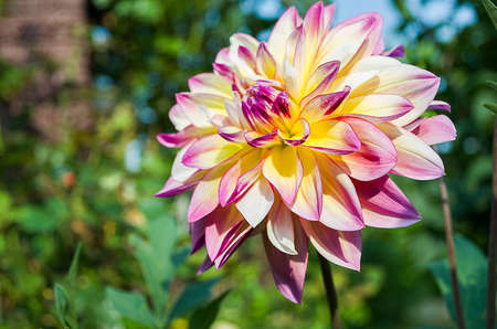 Soft red dahlia petals with acute outdoors in October Stock Photo