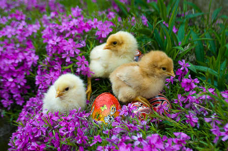 Small fluffy Easter chicks on grass with eggs and flowers Stock Photo