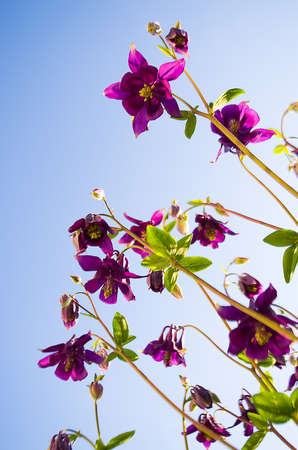 pink columbine: Aquilegia flower elves that blooms outdoors in beautiful summer day