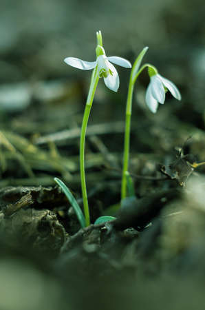 The little white snowdrops growing in early spring on a sunny day Stock Photo