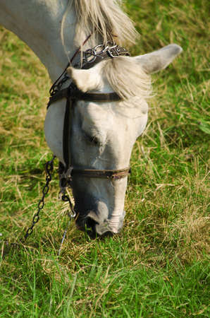 A young horse grazing outdoors on the field in summer