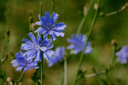 Blue wild flowers of chicory are cooked fragrant healing herbal tea